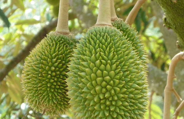 Durian Plantations